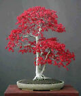 50 seeds Maple Tree American deep red Bonsai Potted plant home garden