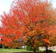Red Maple Tree - Healthy Bare Root Plants - Shade Tree - 3 pack with Bonus