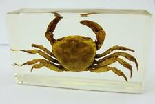 Real Crab Sesarma Crustacean Insect Taxidermy Paperweight Specimen NG