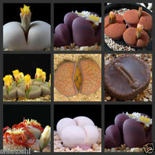 10 Lithops, cactus, SF 3985,  succulent seeds,  mix-living stones