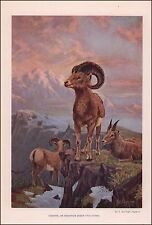 BIG  HORN or MOUNTAIN SHEEP by R Dugmore antique print, authentic 1905