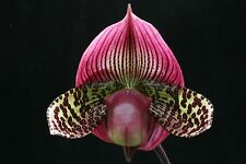 FLASK Paph Wood Wonder  Orchid Zone Paph