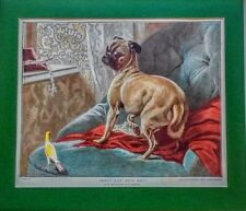 ~ PUG ~ Victorian Coloured Woodblock by C. Steffeck Genuine Antique Vintage 1884