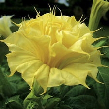 DATURA GOLDEN QUEEN DOUBLE, 10 SEMI