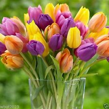 "25 Tulip Bulb""Bright Mix"" Mid-Season Blooming,Fall Planting Bulbs.Shipping now!"