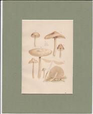 MUSHROOM PRINT. Marasmius Oreades= Fairy Ring Mushroom. 1893 Vintage Print.