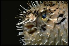 141075 Porcupine Fish face A4 Photo Print