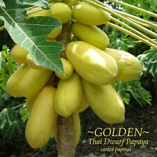 ~GOLDEN THAI~ Dwarf PAPAYA Short Tree YUMMY YELLOW FRUITS 50 Fine Seeds