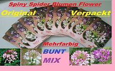 60x Spiny SPIDER FLOWER SEMI SEEDS SEED fiori pianta raramente de in giardino #231
