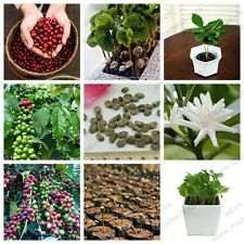 Rare Bonsai Coffee bean 15 Fresh Seeds,Free shipping,High Yielding Variety