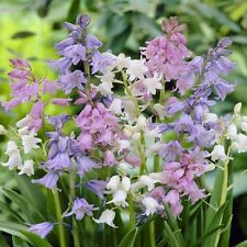 25 MIXED BLUEBELL HISPANICA-WOOD HYACINTH-NATURALIZES WELL-PERENNIAL SPRING BULB