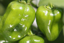 Habanero Indian Green - A High-Yield & Super Hot Chilli for Habanero Lovers