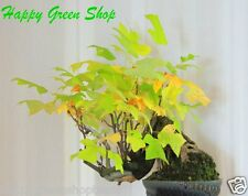 TULIP TREE - 25 Bonsai seeds - Liriodendron tulipifera - tree fast grow FREE P&P