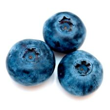 Blueberry 50 seeds Vaccinium Myrtillus *Fruit * Edible #1B72