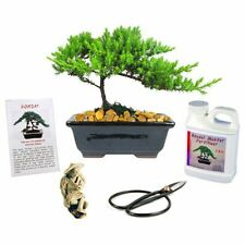 Juniper Bonsai Tree Gift 6 Years Old Complete Kit Fertilizer Figurine Clippers