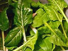 Swiss Chard, Perpetual Spinach Heirloom, Organic 25+ seeds, NON- GMO