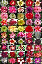 "NEW! Adenium Obesum Desert Rose ""Mixed"" 100 Seeds 50 Type!"