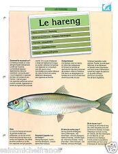 FICHE FISH Clupea harengus Atlantic herring Hareng