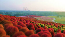 KOCHIA SCOPORIA Fire grass1 Beautiful easy to grow plant, changes colour! seeds