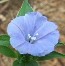 Jacquemontia tamnifolia - Smallflower Morning Glory - Clustervine - 20 seeds