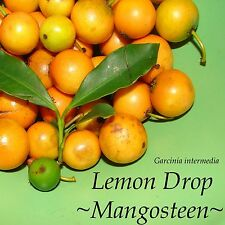 ~LEMON DROP MANGOSTEEN~ Garcinia intermedia FRUIT TREE 3yrs Old Lgr Potd PLANT