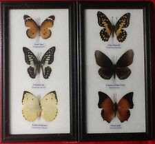 6 REAL BUTTERFLIES BUTTERFLY TAXIDERMY INSECT PICTURE 2 FRAMES ENTOMOLOGY TIGER