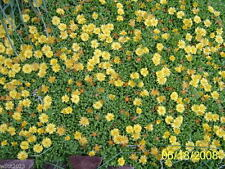 """Delosperma congestum""""Gold Nugget"""" (30 Seeds) Very Cold Hardy Succulent Ice Plant"""
