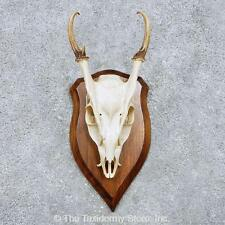 #14450 E | Reeve's Muntjac Skull European Taxidermy Mount For Sale