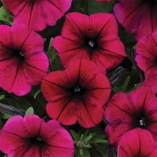 ~  Shock Wave DEEP PURPLE  *  Trailing Petunia *  20 Pelleted Seeds