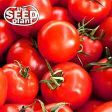 Early Girl Tomato Seeds - 25 SEEDS NON-GMO