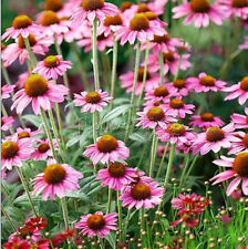 Mixed Color 100 Sunset Coneflower Seeds  Drought-tolerant TT395