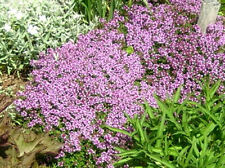 100 WALK ON ME CREEPING THYME Thymus Herb Flower Seeds