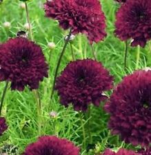 Cosmos - Double Click Cranberries - 20 Seeds