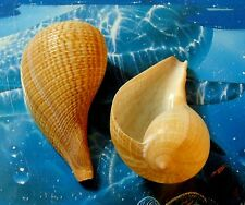 "TWO (2) 4 to 5"" FICUS GRACILIS ELONGATE FIG SEA SHELLS   BEACH DECOR AQUARIUM"