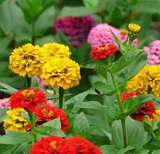 Youth-And-Old-Age Seed 50 Seeds Zinnia Elegans Cut  Flower Plant Garden Hot J003