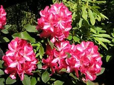 Rhododendron Vincent van Gogh  - Two Gallon Plant - Hardy to -10
