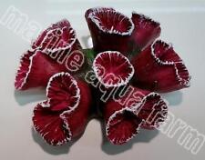 ACQUARIO Viola TRUMPET HEAD CORALLO ornamentale, marini barriera corallina Decorazione Acquario