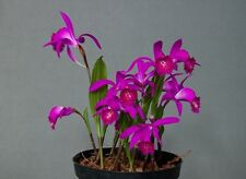 Pleione Berapi, Bloom Size Orchid, Hybrid