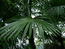 Trachycarpus fortunei - Chusan palm - Chinese windmill palm 30 seeds