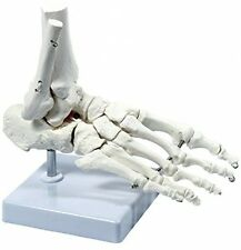 S24.3223 Medical Anatomical Skeleton Foot Model, Life Size, Movable Bone Parts