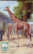0382  sudan,maxicard maximum,1955, giraffe