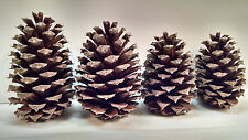 50 Georgia Pine Cones Natural Arts Crafts Firestarters Wedding Home Decor Brown