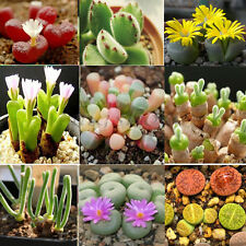 150 Mix Lithops Seeds Living Stones Succulent Cactus Bulk Seed Garden Home Decor
