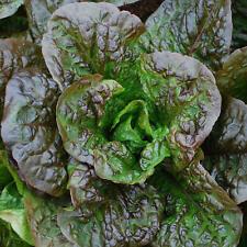 1g  (appr. 1000) lettuce seeds LITTLE LEPRECHAUN very tasty crisp leaves, nice