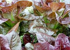 500+ Rouge d' Hiver Lettuce Seeds- French Heirloom-  2015 Seeds $1.69 Max Ship.
