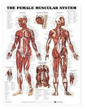 Female Muscular System Chart - Muscle Charts/Models