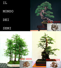 MIX BONSAI - 30 SELECTED SEEDS -  SEMI PINUS - SEQUOIA - METASEQUOIA TRUE SEEDS