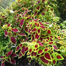 50PCS Blumei Seeds garden ornamental Colorful Flower Leaves Plant Decor L7S