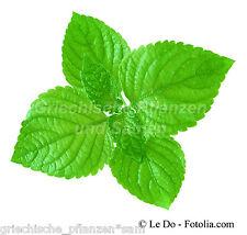 PERILLA grün 50 Semillas MUY RARO Shiso Picante Hierbas Planta vegetal