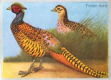 Faisan doré Chrysolophus pictus - Golden Pheasant BIRD IMAGE CARD 1951